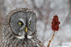 Chouette Lapone (Great Gray Owl) (lachance.germain) Tags: hiver chouette hibou owl vinaigrier sumac