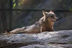 Canis lupus pallipes (Debatra) Tags: bangalore blore karnataka bengaluru india southindia wolf graywolf indianwolf canislupuspallipes canislupus bannerghatta bannerughatta bannerghattanationalpark nikon nikkor d3300 55200mm 55200 fauna wildlife