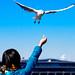 Black-headed Gull in Yokohama Yamashita Park : 山下公園のユリカモメ