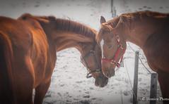 I found my lover / J'ai trouvé mon amant (Domica Photo) Tags: horses love amour neige horse animal nature farm outdoors mammal animalhead stallion brown mare beautyinnature closeup domesticanimals riding mane ranch bayhorse