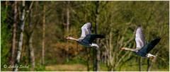 Synchro Pairs I (lukiassaikul) Tags: wildlifephotography wildanimals birds wildbirds largebirds goose geese greylaggoose uk fly flight wings birdsinflight urbanwildlife weststow naturereserve