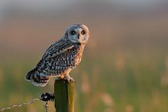 Short-eared Owl (Marvandae) Tags: asioflammeus velduil uitkerksepolder shortearedowl