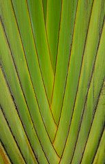 Texture and pattern detail of banana fan (phuong.sg@gmail.com) Tags: abstract background banana beautiful body bright brown closeup color design detail environment fan fleshy green growth leaf line macro madagascariensis musaceae nature orange organic outdoors palm pattern plant ravenala red shape skin stalk stem strelitziaceae striped texture traveller tree tropical trunk unique vivid