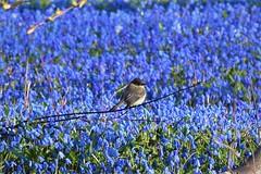 Eastern Phoebe in the blue bells (marensr) Tags: bird eastern phoebe sayornis blue flowers nature hyde park chicago jackson