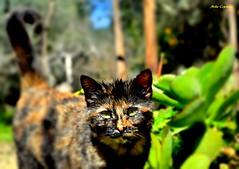 Gatto di campagna (michelecipriotti) Tags: cariati calabria gatto tramonti campagna piante giorno alberi natura colori occhi