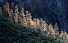 Carezza (lincerosso) Tags: lagodilandro autunno autumn luce light carezza larice larixdecidua mugo bellezza armonia