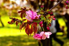At Hama-rikyu Gardens in Tokyo : 浜離宮恩賜庭園にて (Dakiny) Tags: 2017 spring april japan tokyo chuo chuoward park garden hamarikyugardens city street outdoor plant tree flower cherry blossom cherryblossom macro bokeh nikon d7000 sigma 1770mm f284 dc os hsm sigma1770mmf284dcmacrooshsm nikonclubit