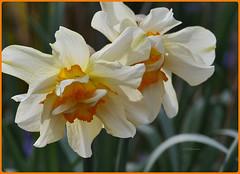 Makro Blüten - Macro Blossom (Karabelso) Tags: white red yellow flower blossom macro weis rot gelb makro blume blüte panasonic lumix gx7
