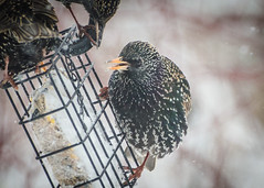 Three is too many! (hickamorehackamore) Tags: 2017 ct connecticut haddam nwf starlings backyard certified habitat suet suetfeeder wildlife winter