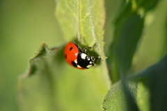 Welcome back  dear ladybug (dfromonteil) Tags: coccinelle ladybug macro bokeh orange red vert green colors couleurs leaves feuilles portrait insect bug nature wildlife light lumière spring printemps