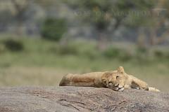 Leon Africano (African Lion) - Serengeti NP - Tanzania (Gaston Maqueda) Tags: lion leon africa serengueti serengeti animales cats safari tanzania animals wild salvaje fauna nature naturaleza sabana wildlife