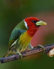 Red-headed Barbet (anacm.silva) Tags: redheadedbarbet barbet ave bird wild wildlife nature natureza naturaleza birds aves sangerardodedota costarica eubuccobourcierii ngc