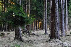 Gietzebeul II - before dawn (waellerwildlife) Tags: fichte fichten fichtenwald wald sonnenuntergang westerwald steinebachanderwied wällerwildlife flora gemeinefichte piceaabies gewöhnlichefichte rotfichte rottanne westerwälderseenplatte waellerwildlife rhinelandpalatinate germany nature norwayspruce píceacomún píceadenoruega píceaeuropea épicéa épicéacommun peccio abeterosso fijnspar gran rotbuche fagussylvatica laubbaum fagus buche almindeligbøg europeanbeech commonbeech hayacomún hêtrecommun euroopanpyökki faggio beuk faiaeuropeia bok baum bäume burens wolfgangburens hachenburg märz march frühling spring sunset gietzebeul