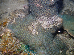 20170416_285_adj (cat64fish) Tags: singapore satumu marine underwater hardcoral galaxea gal boulder massive cm spawning