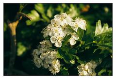 May flower blossom (G. Postlethwaite esq.) Tags: canon30d dof derbyshire hawthorne mayflower mrsp radbournelane beyondbokeh blossom bokeh depthoffield hedgerow kitlens leaves photoborder selectivefocus spring