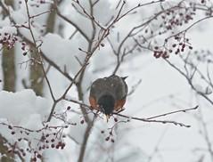 Hello down there! (smilla4) Tags: bird robin tree berries snow april maine wildlife
