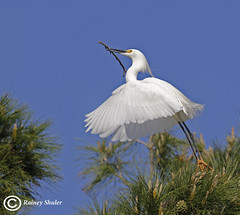 Up and Away (raineys) Tags: snowyegret bird nature wildlife wings flight california specanimal avianexcellence