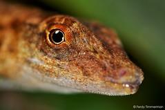 Anolis polylepis (Peters, 1874) (Ferdy Timmerman) Tags: anolis polylepis male eye closeup macro portrait lizard reptile animal dephtoffield f63 exotic nikon d90 nikkor 105 micro ferdytimmerman nature wildlife