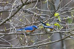 Eastern Bluebird Pair (ramseybuckeye) Tags: eastern bluebird pair birds blendon woods metropark columbus ohio pentax nature art life