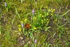 Am Schloss vor Husum setzt die Krokusblüte ein - Gelbstern (Gagea sp.); Nordfriesland (12) (Chironius) Tags: husum schleswigholstein nordfriesland deutschland germany allemagne alemania germania германия szlezwigholsztyn niemcy grauestadt blüte blossom flower fleur flor fiore blüten цветок цветение liliales lilienartige liliengewächse liliaceae lilioideae gelb