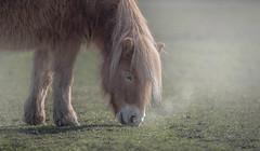 Le brouillard est dans le pré (Cilcgaillard) Tags: cilcgaillard cecilegaillard canon cécilegaillard îlederé chevaux brouillard douceur