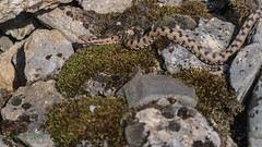03-3153 (fix.68) Tags: reptile serpent vipèrepéliade