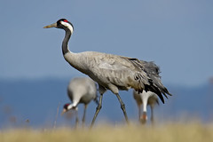 Common crane 2017-04-01_01 (Jan Thomas Landgren) Tags: grusgrus tranor trana crane cranes commoncrane commoncranes tamron tamron150600mm wildlife wetland wetlands hornborgasjön hornborgalake västergötland sony sweden sverige sonyilca77m2 sonya77mark2 sonya77ii birds bird fåglar fågel fauna aves animal animals avifauna nature natur outdoor