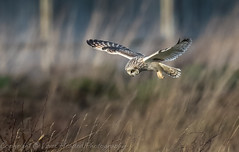 Short eared owl (Asio flammeus) hovering over it's prey (hunt.keith27) Tags: asioflammeus weston super mare talons bird feathers wings quartering shortearedowl inflight owl eyes beautiful magnificent medium sized owls pale underwings yellow hunting mammals diving