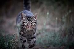 predator (rondoudou87) Tags: chat cat wildlife wild wildcat nature natur bokeh pentax k1 jardin garden félin dof pet