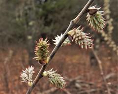 Prairie Willow (Salix humilis) (John Scholze) Tags: prairie willow salix humilis wisconsin shrub