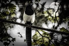 El pájaroy la luna (seguicollar) Tags: urraca pájaro ave rama árbol luna nocturno imagencreativa photomanipulación art arte artecreativo artedigital virginiaseguí