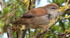 Cetti's Warbler 270417 (16) (Richard Collier - Wildlife and Travel Photography) Tags: naturalhistory birds british britishbirds cettiswarbler wildlife rspb rspbreserve rspblodmoor dorset dorsetwildlife ngc