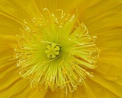 Flower perfection (zinnia2012) Tags: flora yellow californianpoppy stamens zinnia2012 fleur jaune étamines 7dwf