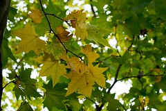Maple_maybe Norwegian_Acer platanoides RSP_7076.jpg (ImaginingsLifeImages) Tags: autumn nature australia floraandfauna weather nsw maple leaves beardyst acer macro flora trees soapberry sapindales sapindaceae dumaresqcreek newengland armidale northerntablelands places armidaleregion