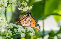JM foto75-123 (janetankersmit) Tags: 2017 vlinders vlindertuin zutphen