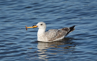 Herring Gull with plastic litter