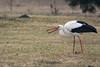 Valge-toonekurg, Ciconia ciconia, European White Stork