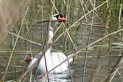 Höckerschwan - cygnus olor (krueesch) Tags: schwan swan höckerschwan cygnus olor wasservögel bird birds enten ente duck limmat naturschutzgebiet dietikon