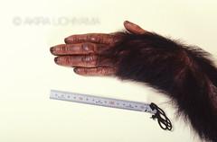 ZOO0065-2 (Akira Uchiyama) Tags: 動物たちのいろいろ 手 手チンパンジー