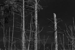 German Forest - Der Deutsche Wald (gripspix (OFF)) Tags: 20170330 sadness trauer zerstörung destruction hymenoscyphuspseudoalbidus ash esche fichte spruce waldsterben forestdieback