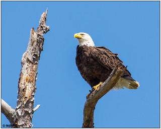 Bald Eagle DSC_4484