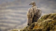 Speaking Griffon Vultures of Meghma (Neha & Chittaranjan Desai) Tags: griffon vultures birds avians himalayan nepal india sandakphu tumling trekking nature extinct endangered species