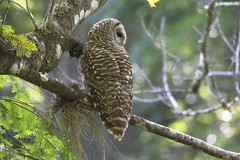 Barred Owl (DFChurch) Tags: corkscrew swamp nature animal wild wildlife barred owl bird feather florida naples strixvaria bokeh