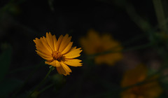 A subtle spotlight (vbd) Tags: pentax k3 vbd smcpentaxda55300mmf458ed ct connecticut flower newengland yellow 2016 summer2016 handheld manualfocus trumbull oldminepark coreopsis coreopsislanceolata