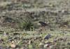 Pipit rosé-Anthus roseatus - Rosy Pipit 2971.jpg