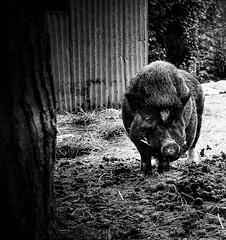 FUNNY ANIMAL (maila_atzori) Tags: bw blackwhite bianconero animal boar