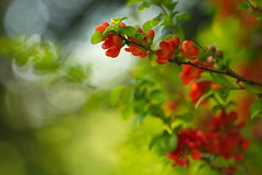 Maule's quince (Chaenomeles japonica) (Stefan Zwi.) Tags: sun sonne blume flower wild wildblume sony a7 ilce7 emount farbe flora closeup macro nature background blooming quitte zierquitte maulesquince chaenomelesjaponica samyang135mm20 ngc npc