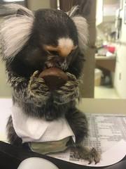 (Todd Money) Tags: pet exotic spanky marmoset monkey