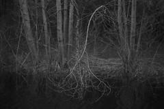 fragile life II (Mindaugas Buivydas) Tags: lietuva lithuania bw spring march tree trees forest wood sadnature mood moody sakučiųmiškas sakučiaiforest shallowdepthoffield mindaugasbuivydas dark darkness