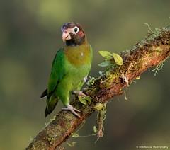 Brown-hooded Parrot (Female) (wmckenziephotography) Tags: parrot costarica costaricabirds canon7dii wildlife birds natureofcostarica